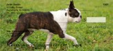 Boston Terrier checks